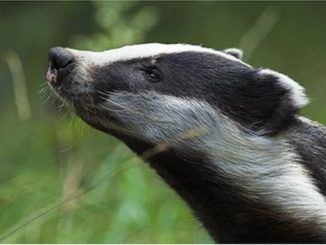Badger cull set to fail for second year running