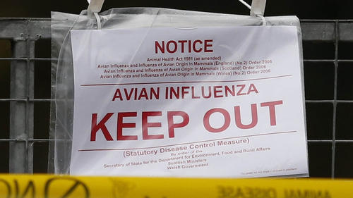 Emergency measures announced to contain bird flu in Britain and the Netherlands