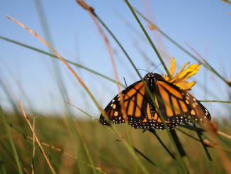 Monarch butterfly may be listed as endangered species