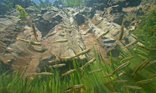 Pharmaceutical pollution affecting rivers wildlife :  Minnows moving about the Pavin Lake