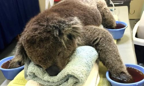 Koala mittens needed to help bushfire victims with burnt paws