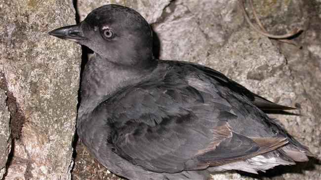 Scientists puzzled by mass deaths of seabirds