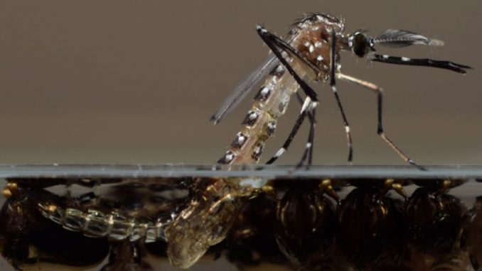 Millions of GM mosquitoes may be released in the Florida Keys
