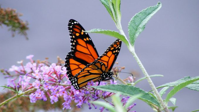 Monarch butterfly on verge of extinction because of Monsanto herbicide