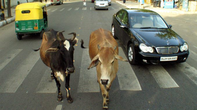 Cows_India