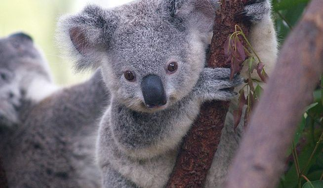 Australian Authorities Secretly Killed Hundreds Of Starving Koalas