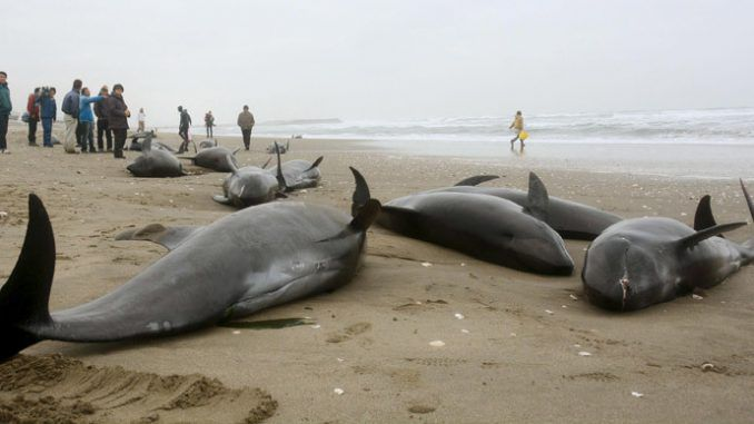 Mysterious Mass Dolphin Beaching In Japan - 150 Feared Dead
