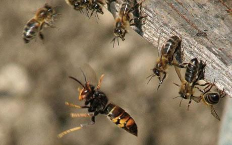 Bees_Asian hornets