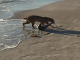 Bobcat fishing for sharks