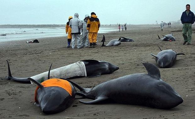 Dead stranded dolphins found near Fukushima with white radiated lungs