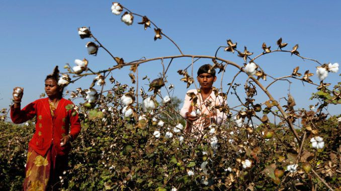 GMO Killer-Cotton - An Indian Nightmare