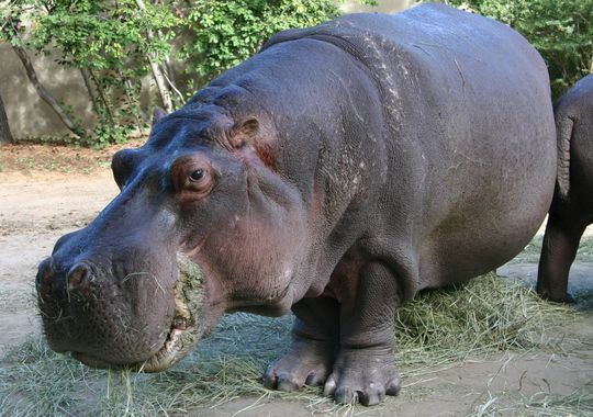 Oldest Living Hippo In North American Zoo Dies
