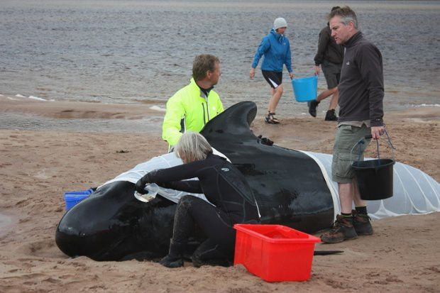 Pilot whale stranded
