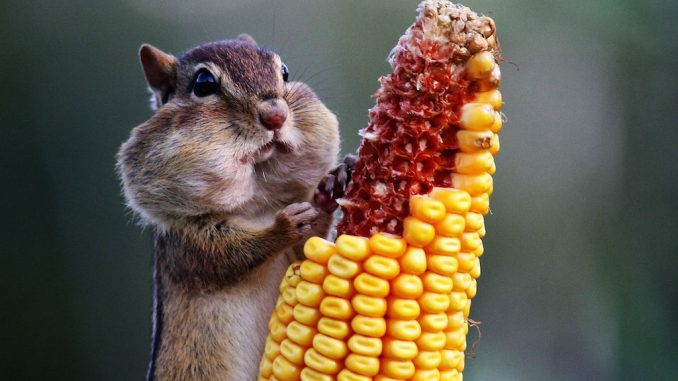 Animals suffer by eating GM food, study finds