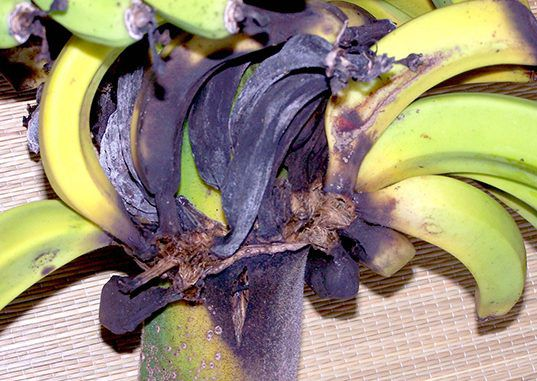 Bananas are at risk of becoming extinct due to a killer fungus
