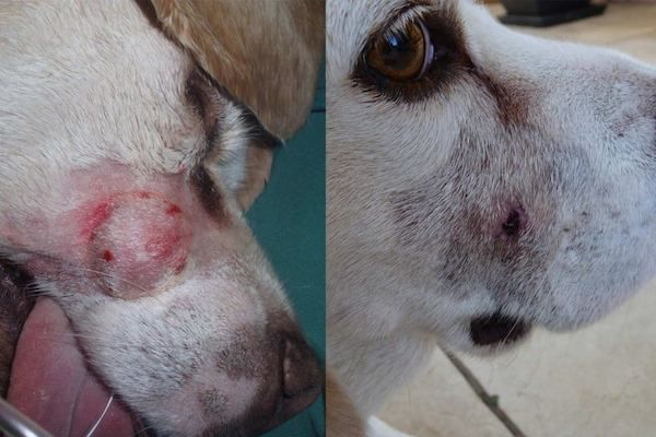 Oscar the dog pre-treatment (L) and 15 days after treatment (R). Photo credit: QIMR Berghofer Medical Institute.