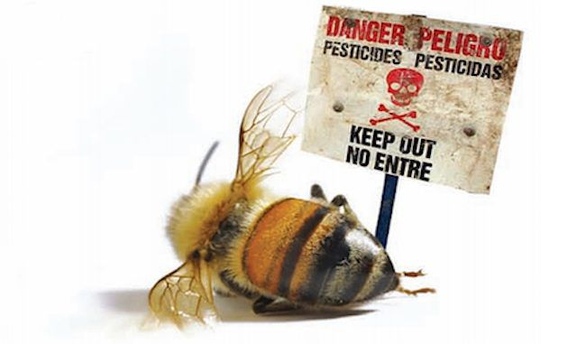 A whistleblower has come forward alleging that the USDA hid evidence that pesticides are responsible for the decline in bee populations