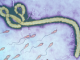 Ebola survives for up to nine months in semen, scientists have said