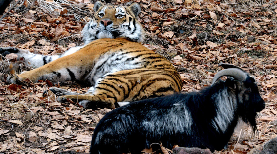 goat and tiger