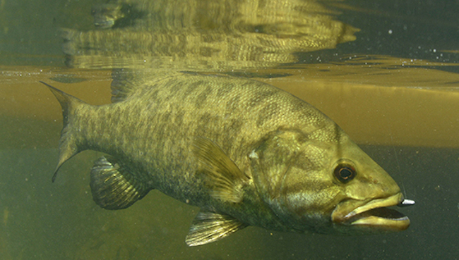 Intersex fish found in United States due to pesticide poisening