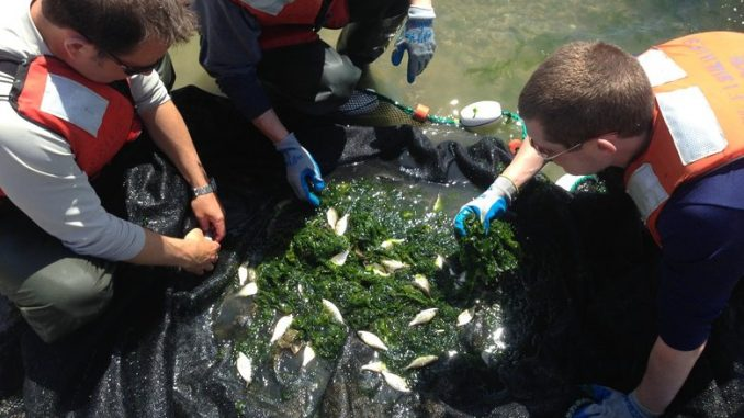 Fish Test Positive For Anti-depressants & Cocaine In Puget Sound