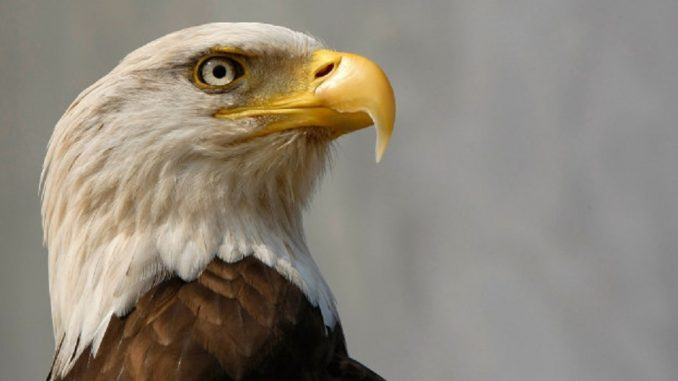 13 bald eagles found dead