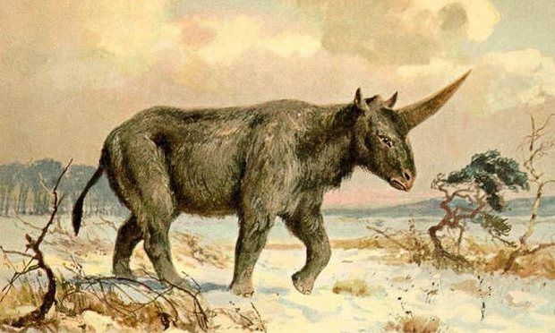 Extinct 'Siberian unicorn' may have lived alongside humans, fossil suggests