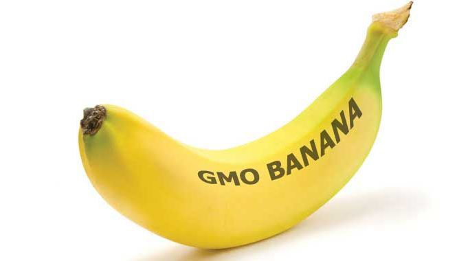 Gates Foundation To Pay Students To Take Part In GMO Banana Trial