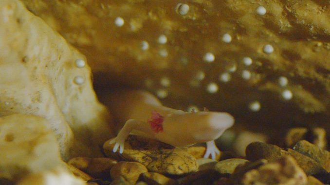 Scientists await birth of baby dragons this summer