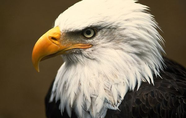 Once considered on the brink of extinction, bald eagles have recovered well enough to be removed from the endangered species list, although they are still protected by laws dating back to 1918.