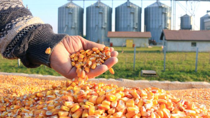 USDA approves use of Monsanto's GMO corn without restrictions