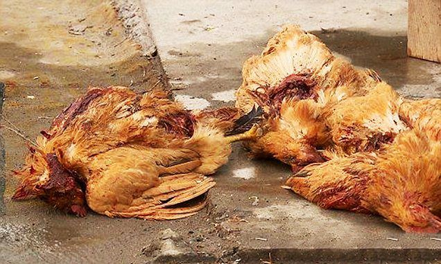 200 birds in China are dead after being attacked by a mysterious bloodsucking vampire creature