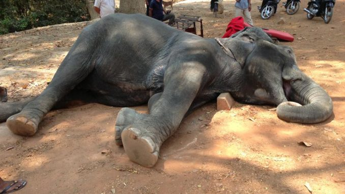 Tragic: elephant dies from exhaustion after being forced to carry tourists for 15 years