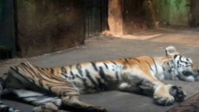 Tigers In China Live In Horrific Conditions To Make Aphrodisiac