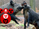 Crazed Radioactive Wild Board Terrorize Near Fukushima Site