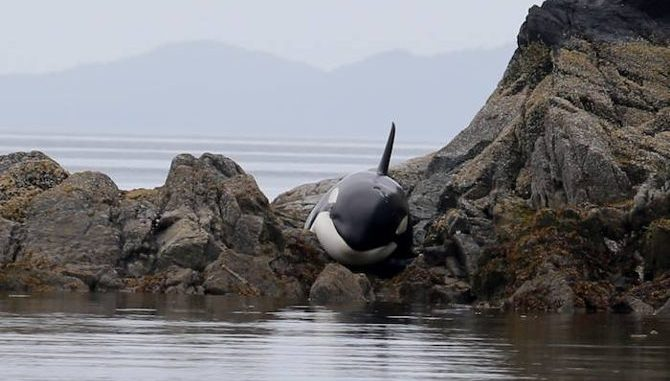 Volunteers Save Stranded Orca In British Columbia