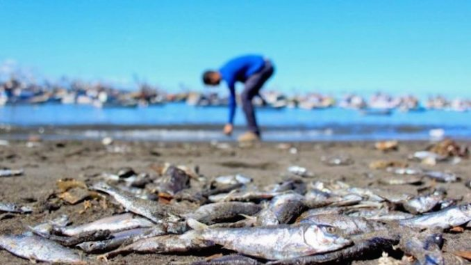 20 million salmon die in Chile