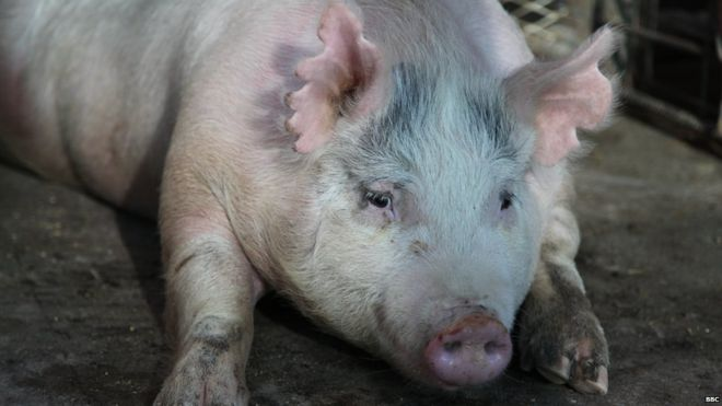 This pregnant sow is carrying human-pig chimera emryos