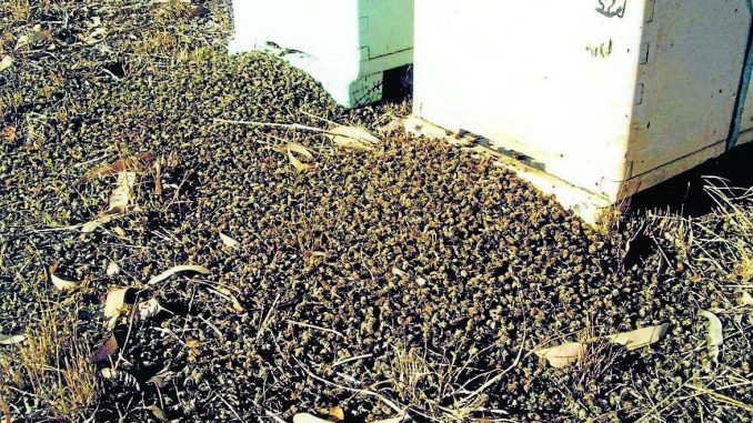 37 million bees found dead after GMO seeds planted nearby