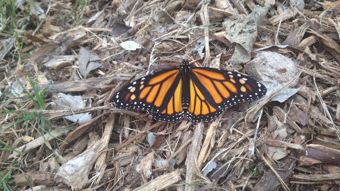 Butterflies in California are on the verge of becoming extinct due to the use of Monsanto's Glyphosate