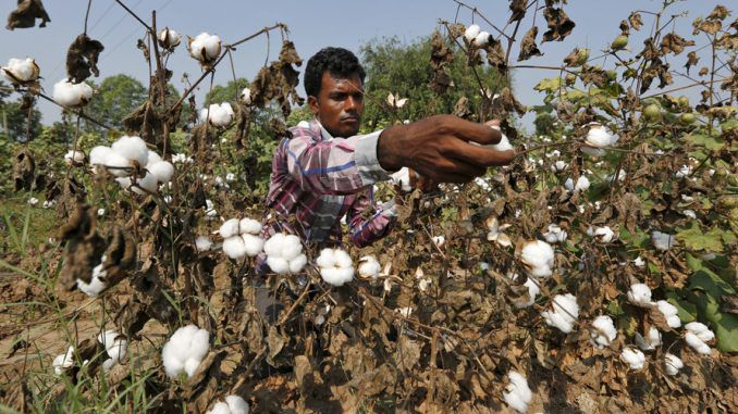 Monsanto Withdraws Plans To Launch New GMO Cotton Seeds In India