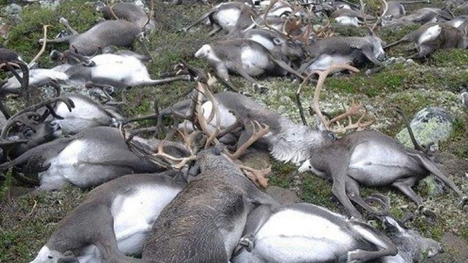 Hundreds of reindeer found dead in Norway