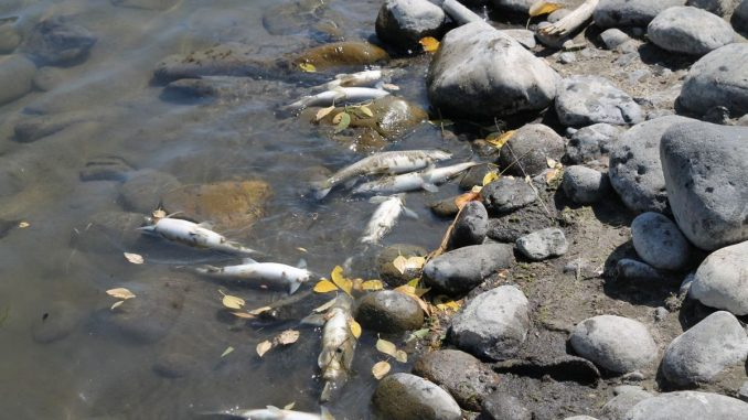 Yellowstone River Closes As Deadly Parasite Kills Thousands Of Fish