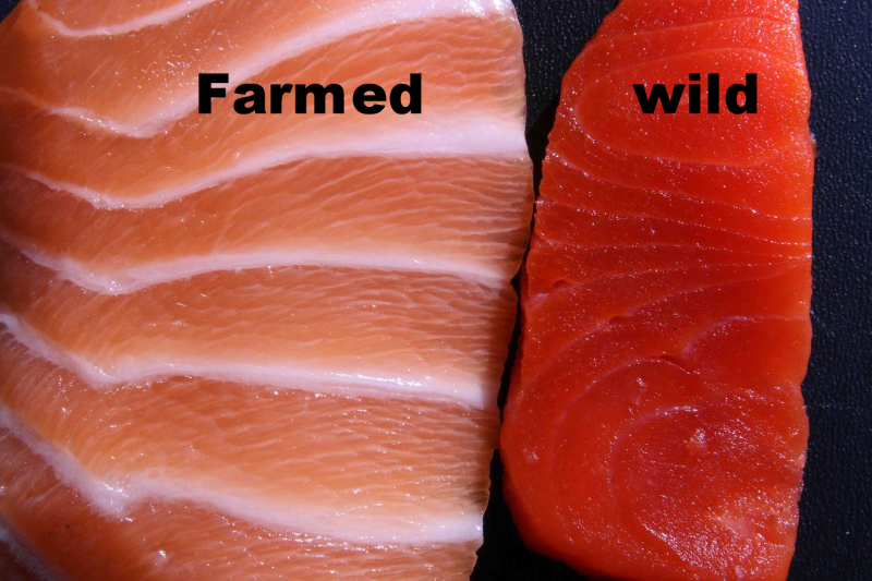 Farmed salmon unhealthy