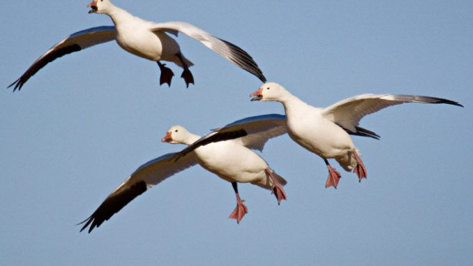 Thousand Of Snow Geese Die After landing In Toxic Montana Lake