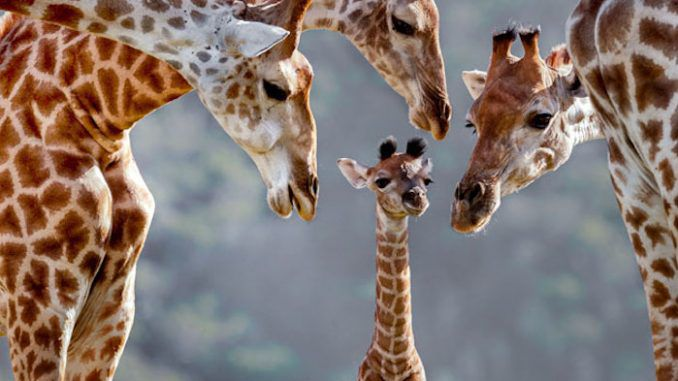 Giraffes are now officially considered an endangered species