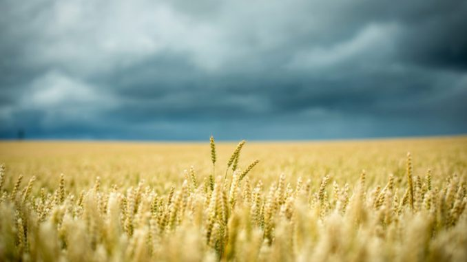 MIT scientists Dr. Stephanie Seneff claims the public are being lied to about wheat