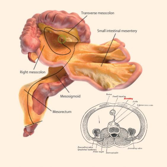 A digital representation of the mesentery and small and large intestines