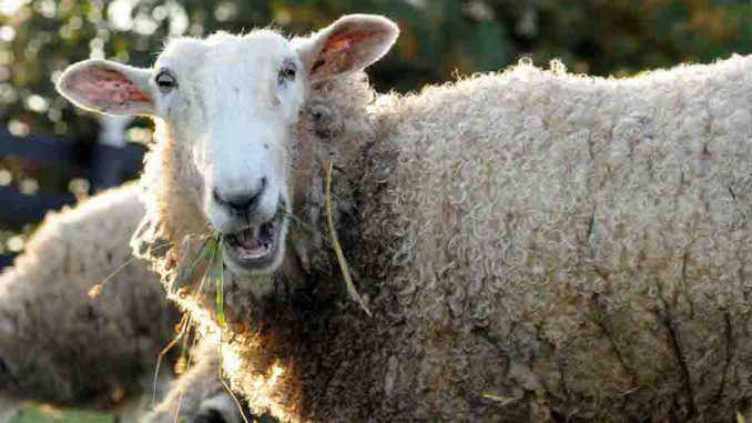 Stoned sheep were caught going on a psychotic New Year rampage