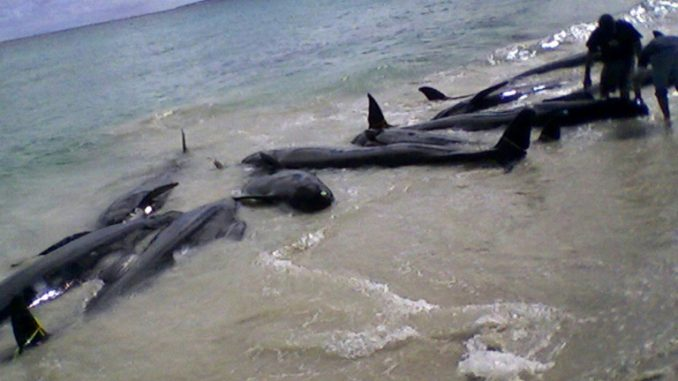 82 False Killer Whales Dead In Massive Stranding Off Florida Coast